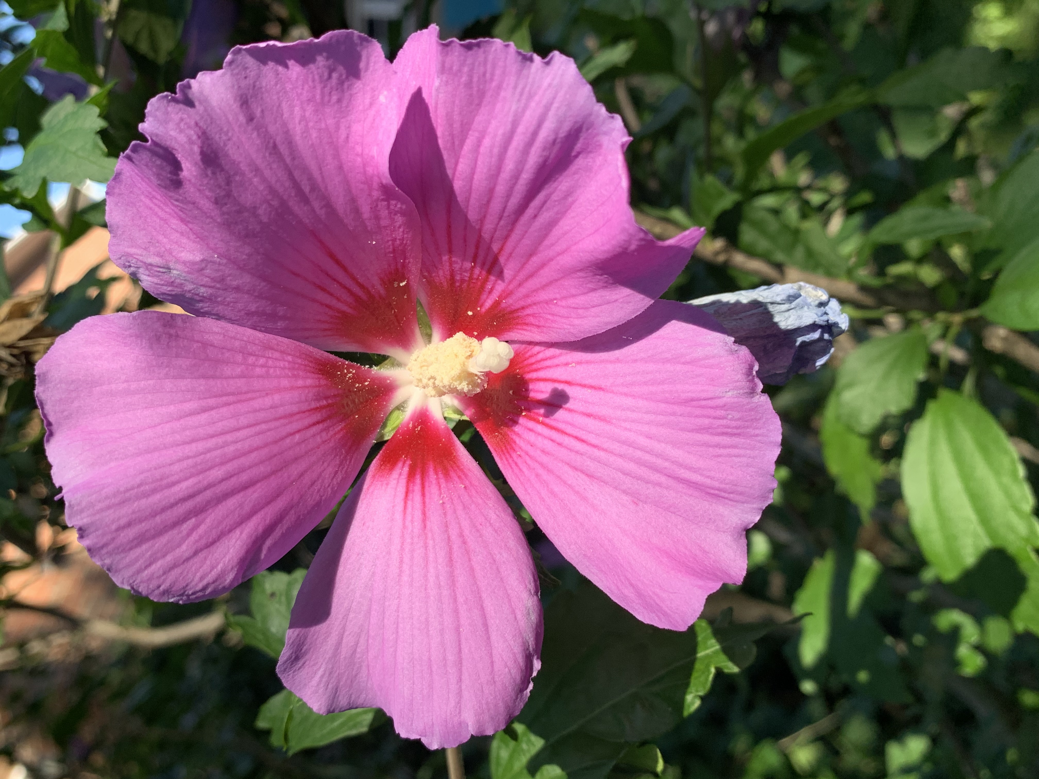 hibiscus lowers blood pressure