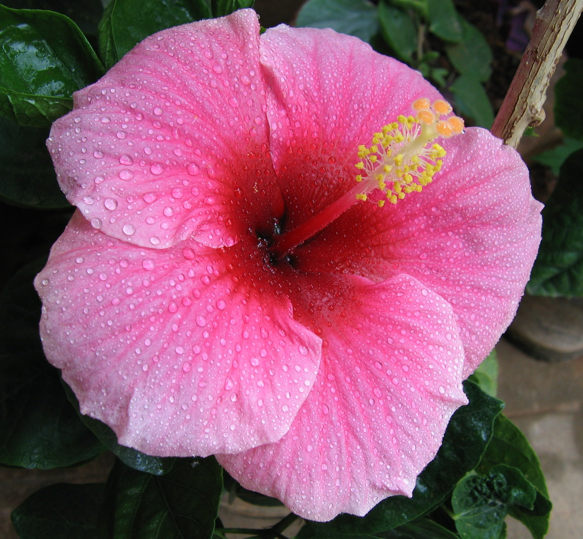 hibiscus tea beats drugs for high blood pressure