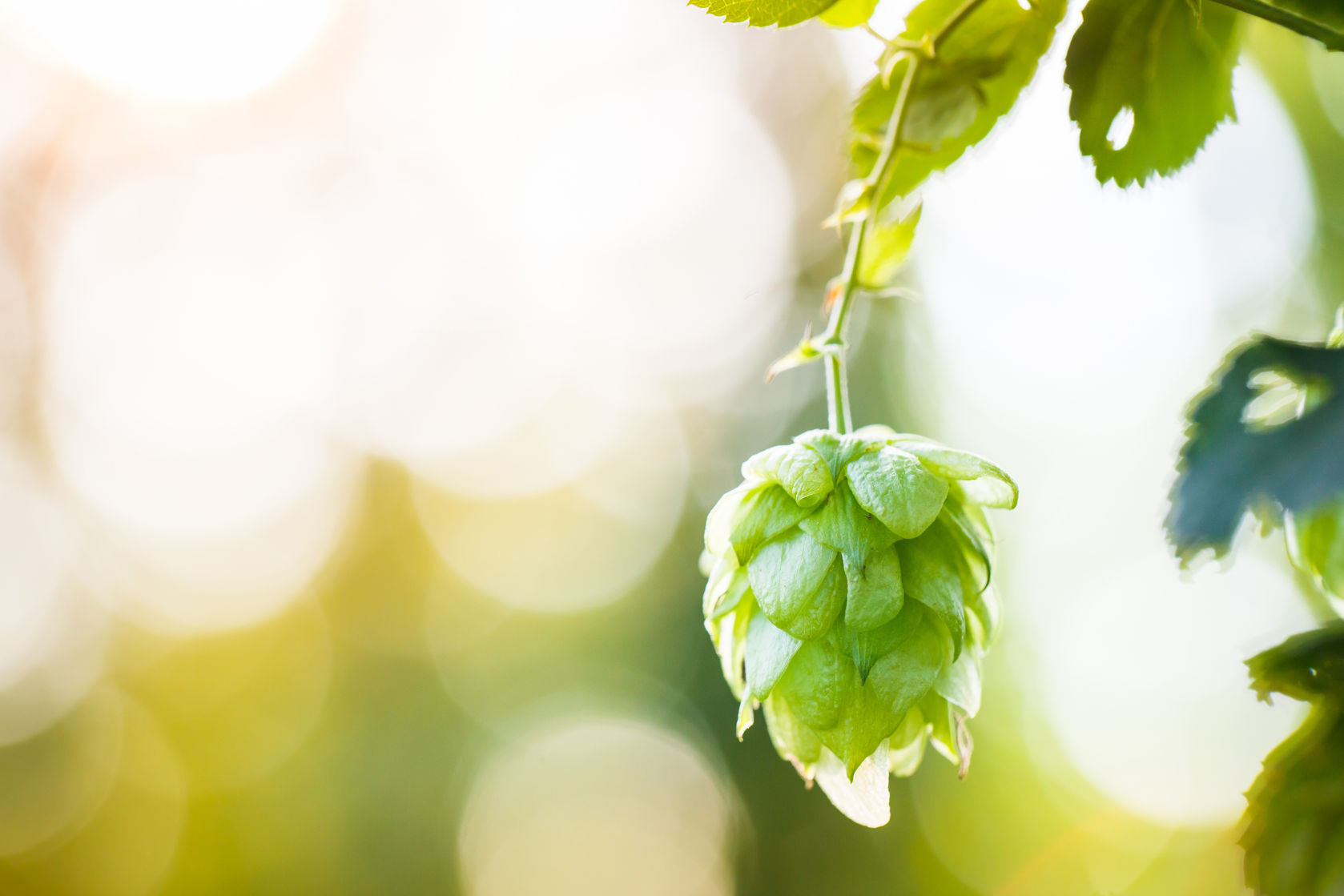 hops extract helps depression, anxiety, stress in students