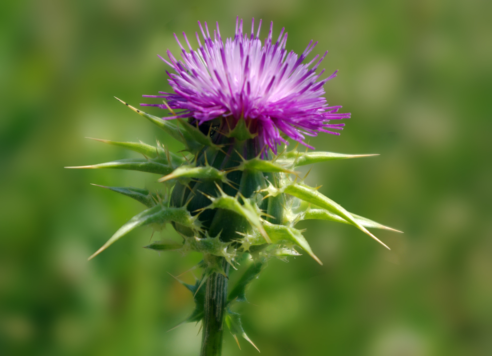 milk thistle improves vitiligo