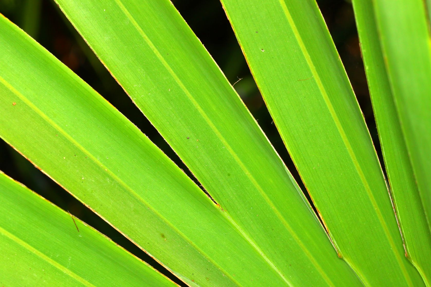 saw palmetto berry better than drugs for enlarged prostate